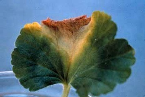 Bacterial Blight of Geranium