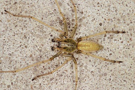 Agrarian Sac Spider and a Longlegged Sac Spider