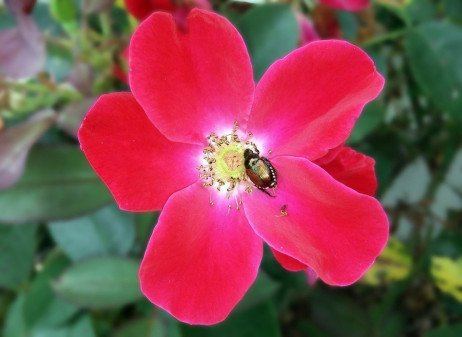 Japanese Beetle Control on Ornamental Plants