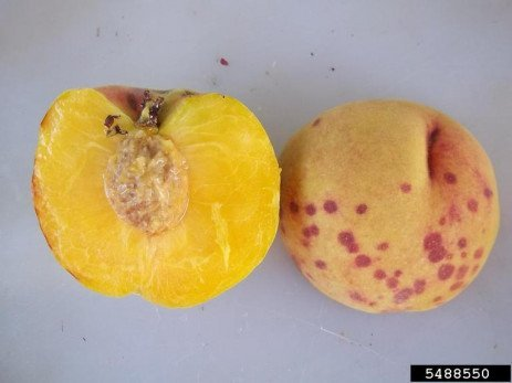 Home Orchards: Table 5.2. Occurence of Insect and Mite Pests in Stone Fruit