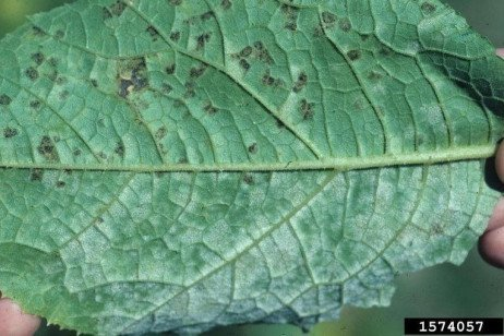 Downy Mildew
