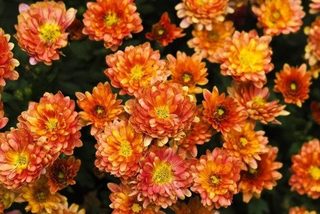 Chrysanthemum Diseases