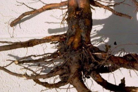 Tree Fruit Disease - Phytophthora Collar, Crown and Root Rots
