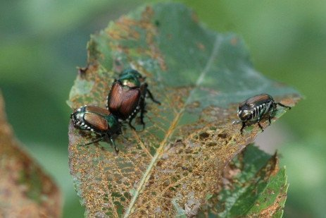 Tree Fruit Insect Pest - Japanese Beetle