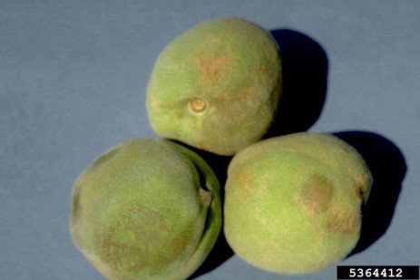 Home Gardening: Rusty Spot of Peach