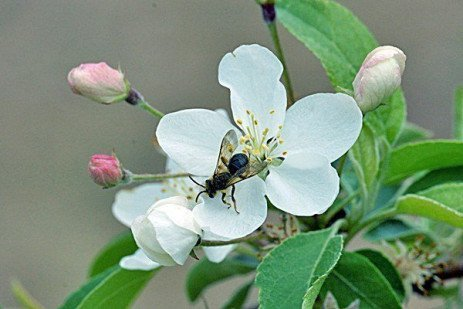 Orchard Pollination: Wild Bees