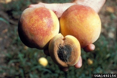 Peach Disease - Anthracnose