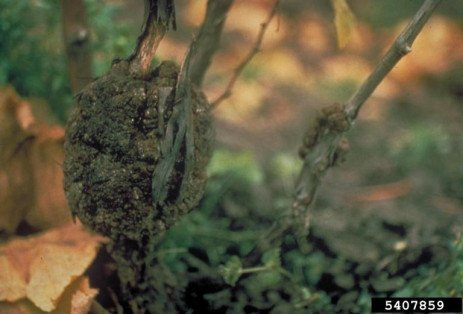 Crown Gall on Grapes in Home Plantings