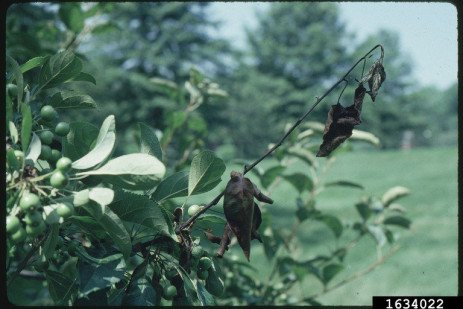 Fire Blight in Home Orchards