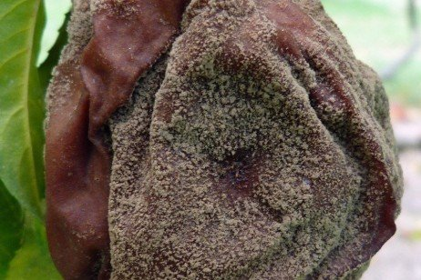 Brown Rot of Stone Fruit in the Home Fruit Planting