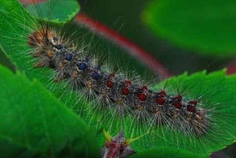 Gypsy Moth in the Home Fruit Planting