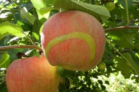 European Apple Sawfly in the Home Fruit Planting