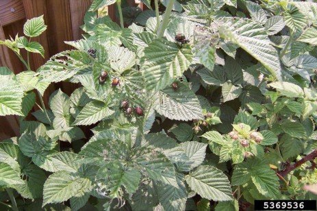 Japanese Beetles in Brambles in the Home Fruit Planting
