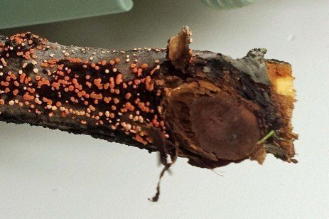 Nectria Twig Blight of Apple in the Home Fruit Planting