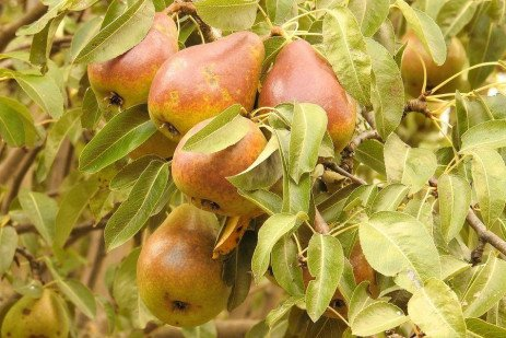 Pear Production in Home Fruit Plantings