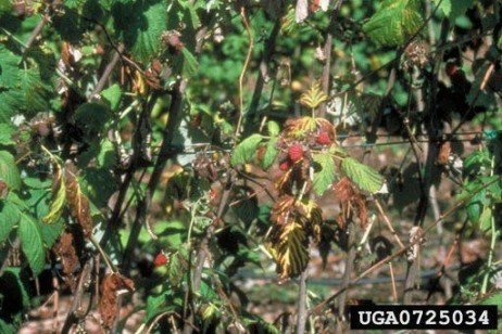 Raspberry Disease - Phytophthora Root Rot