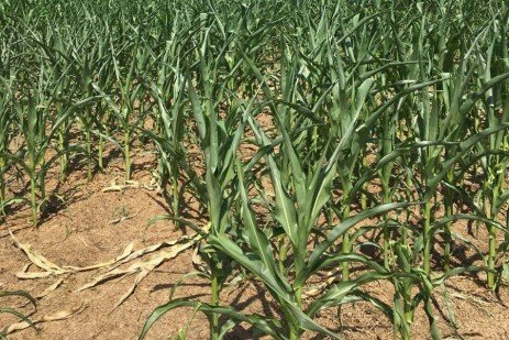 Managing Drought Stressed Corn