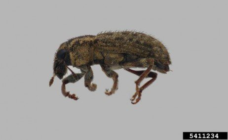 Clover Root Curculio: A Pest of Alfalfa and Clover