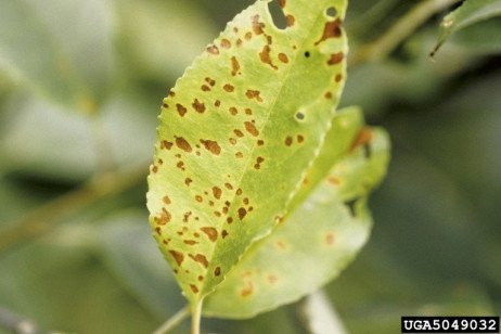 Plum Disease - Plum Leaf Spot