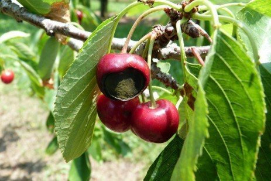 Tree Fruit Disease - Alternaria Rot