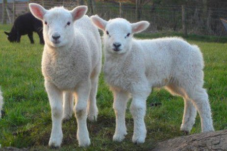 Singles, Twins, and Triplets: You Are a Factor in Your Lambing Rate