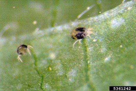 Two-Spotted Spider Mite on Soybeans and Field Corn