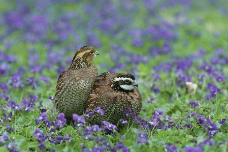 Bobwhite Quail Production