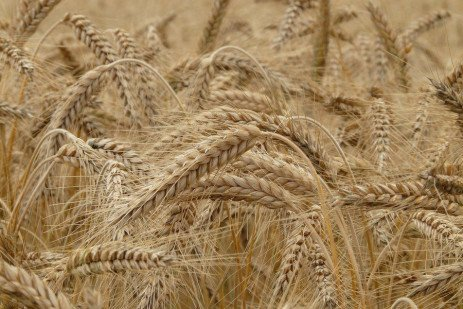 Evaluating Your Wheat Crop for Disease