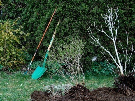 Transplanting or Moving Trees and Shrubs in the Landscape