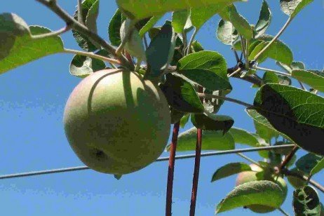 Orchard IPM - Using Pheromones for Monitoring and Mating Disruption