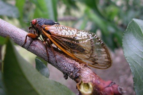 Tree Fruit Insect Pest - Periodical Cicada