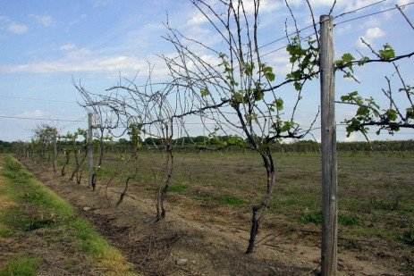 Grape Disease - Crown Gall, A Growing Concern in Vineyards