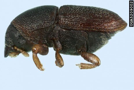 Tree Fruit Insect Pest - Shothole Borer