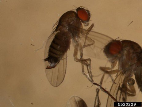 Tree Fruit Insect Pest - Spotted Wing Drosophila