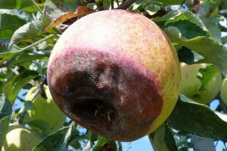 Apple Disease - Black Rot and Frogeye Leaf Spot