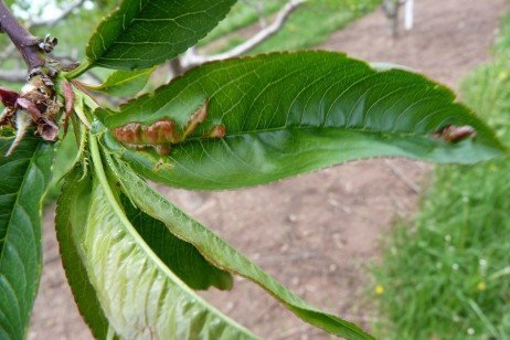 Peach Disease - Peach Leaf Curl