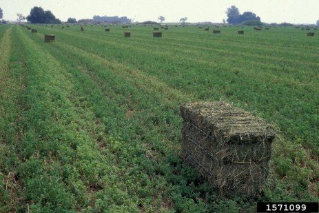 Harvest Management of Alfalfa