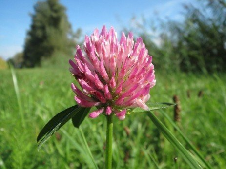 Harvest Management of Red Clover