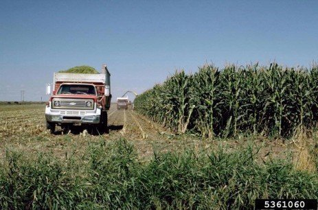 Corn Silage Dry Down – Harvesting at the Incorrect Moisture