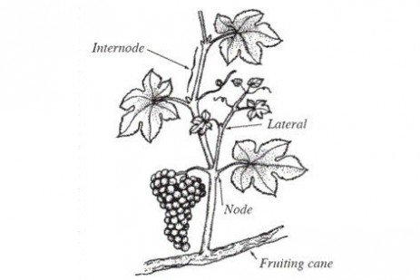 Pruning Grapes in Home Fruit Plantings