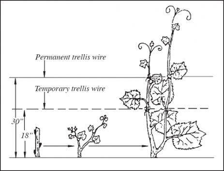 Purchasing and Planting Grapes for Home Fruit Plantings