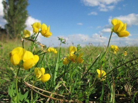 Harvest Management of Birdsfoot Trefoil