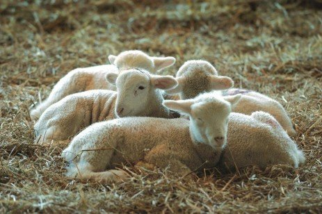 "Lambing Season: Don't Forget ""Clip, Dip, and Strip"""