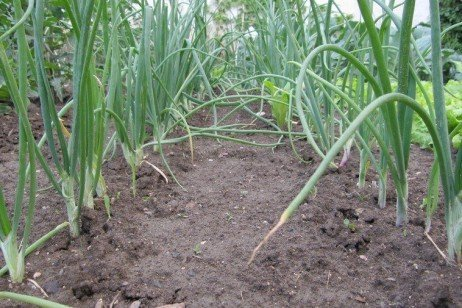 Community Supported Agriculture: Part II: Members and Their Role