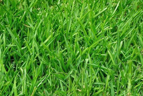 The Cool-season Turfgrasses: Identification