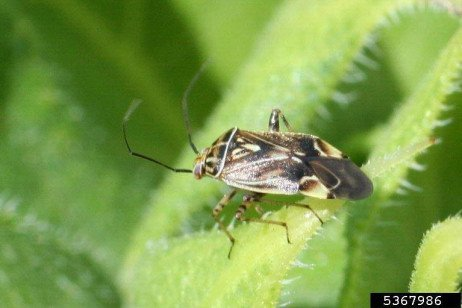 Tarnished Plant Bug and Other True Bugs on Strawberries