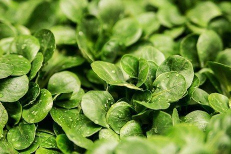 Leafy Vegetables in the Home Garden