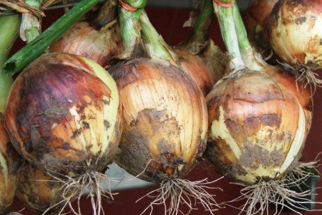 Bulb Crops in the Home Garden