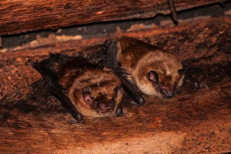 Bats in the House in Winter