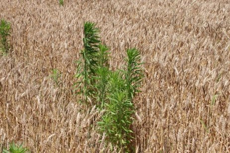 Horseweed/Marestail Control in Double-Crop Soybean